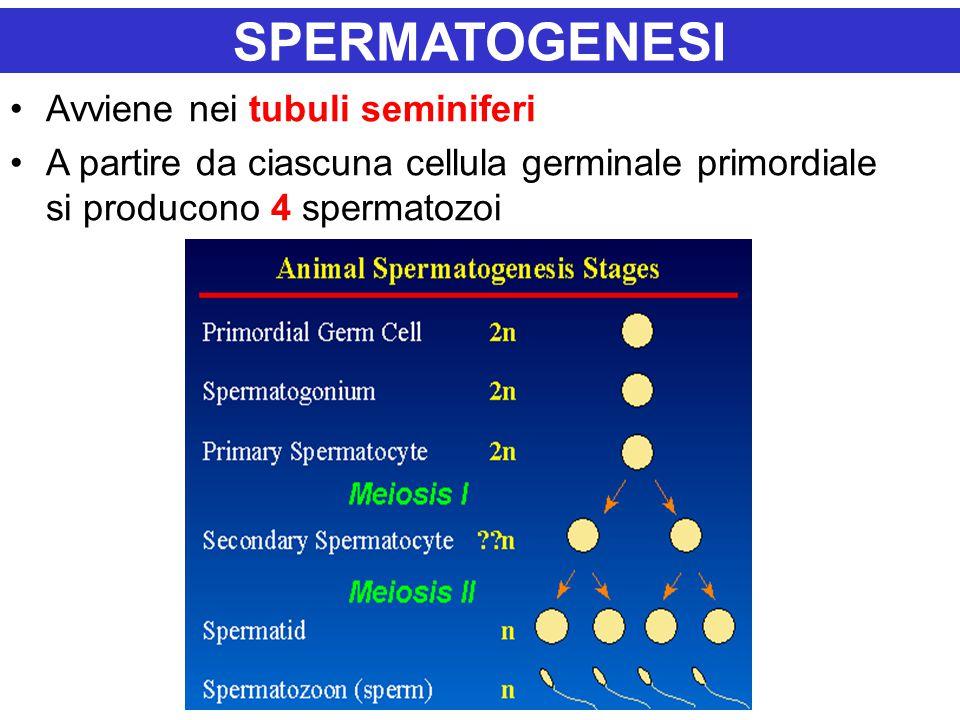SPERMATOGENESI Avviene nei tubuli seminiferi A partire da ciascuna cellula germinale primordiale si producono 4 spermatozoi