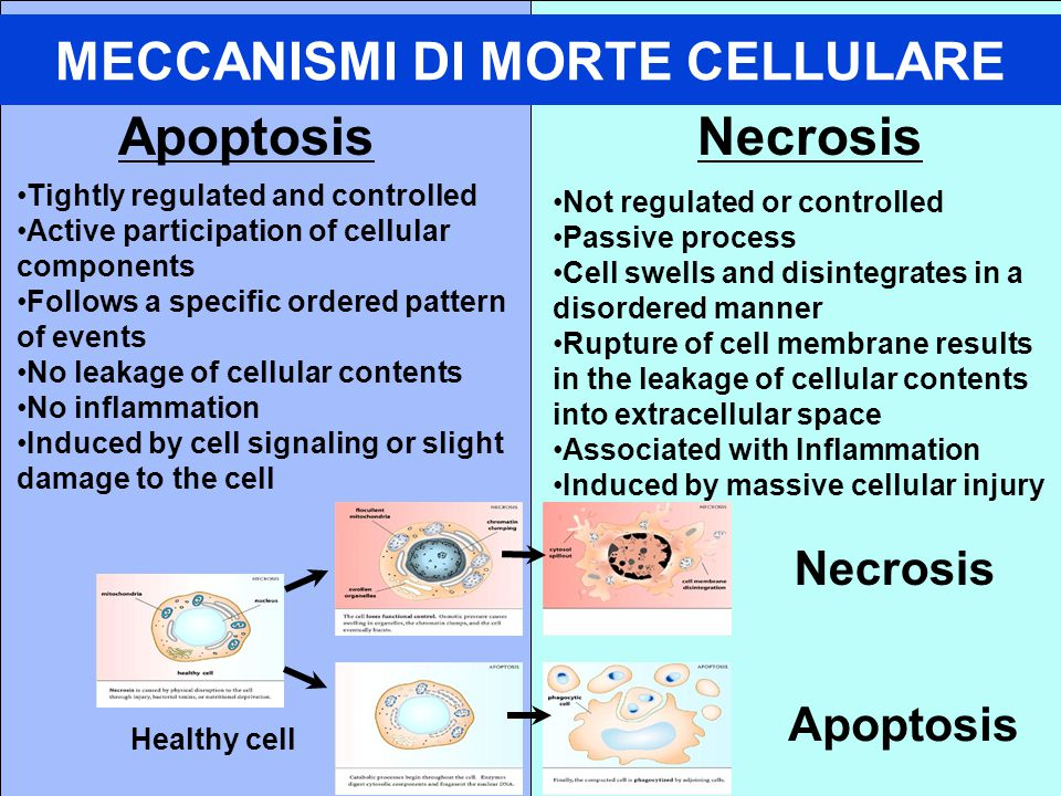 MECCANISMI DI MORTE CELLULARE ApoptosisNecrosis Tightly regulated and controlled Active participation of cellular components Follows a specific ordered pattern of events No leakage of cellular contents No inflammation Induced by cell signaling or slight damage to the cell Not regulated or controlled Passive process Cell swells and disintegrates in a disordered manner Rupture of cell membrane results in the leakage of cellular contents into extracellular space Associated with Inflammation Induced by massive cellular injury Apoptosis Necrosis Healthy cell