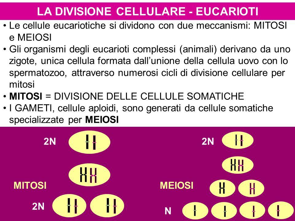 LA DIVISIONE CELLULARE - EUCARIOTI Le cellule eucariotiche si dividono con due meccanismi: MITOSI e MEIOSI Gli organismi degli eucarioti complessi (animali) derivano da uno zigote, unica cellula formata dall'unione della cellula uovo con lo spermatozoo, attraverso numerosi cicli di divisione cellulare per mitosi MITOSI = DIVISIONE DELLE CELLULE SOMATICHE I GAMETI, cellule aploidi, sono generati da cellule somatiche specializzate per MEIOSI MITOSIMEIOSI 2N N