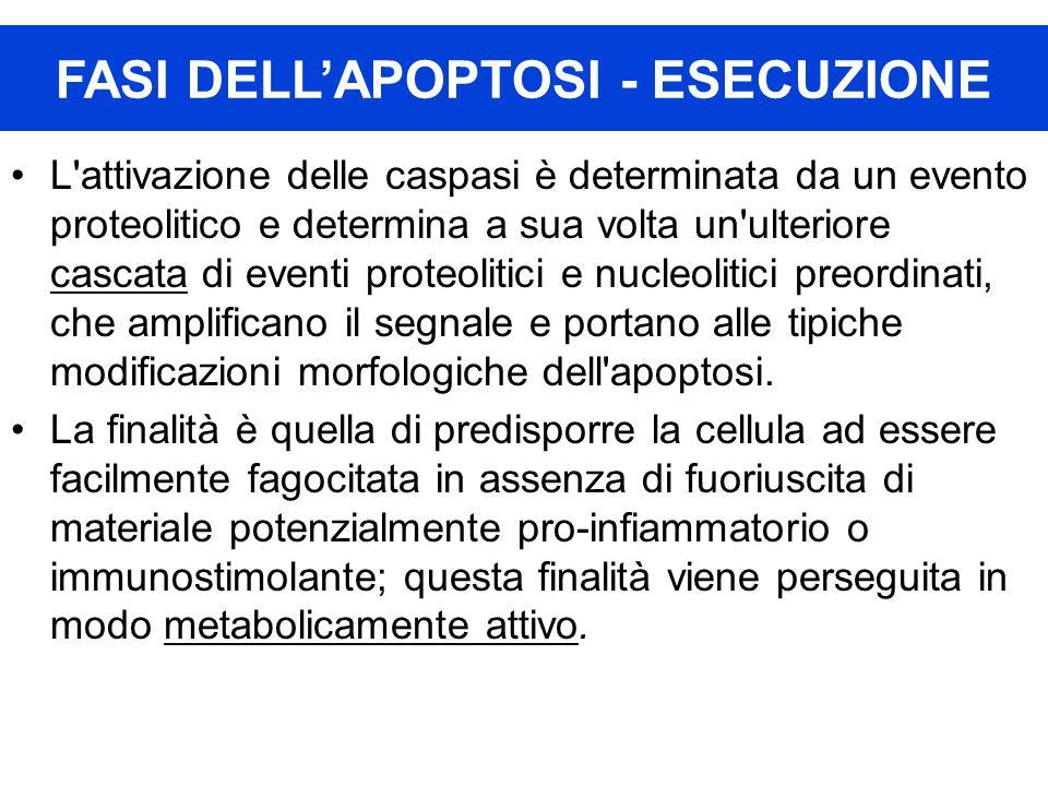 L'attivazione delle caspasi è determinata da un evento proteolitico e determina a sua volta un'ulteriore cascata di eventi proteolitici e nucleolitici