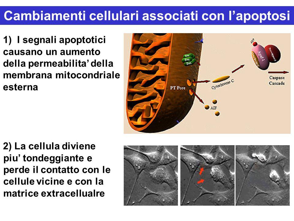 Cambiamenti cellulari associati con l'apoptosi 2) La cellula diviene piu' tondeggiante e perde il contatto con le cellule vicine e con la matrice extracellualre 1) I segnali apoptotici causano un aumento della permeabilita' della membrana mitocondriale esterna