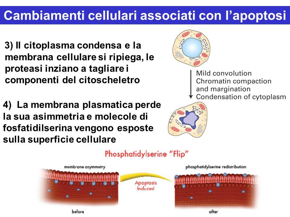4) La membrana plasmatica perde la sua asimmetria e molecole di fosfatidilserina vengono esposte sulla superficie cellulare 3) Il citoplasma condensa