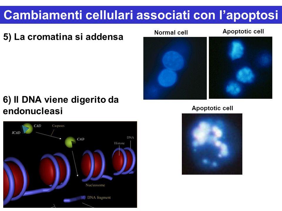 5) La cromatina si addensa 6) Il DNA viene digerito da endonucleasi Normal cell Apoptotic cell Cambiamenti cellulari associati con l'apoptosi