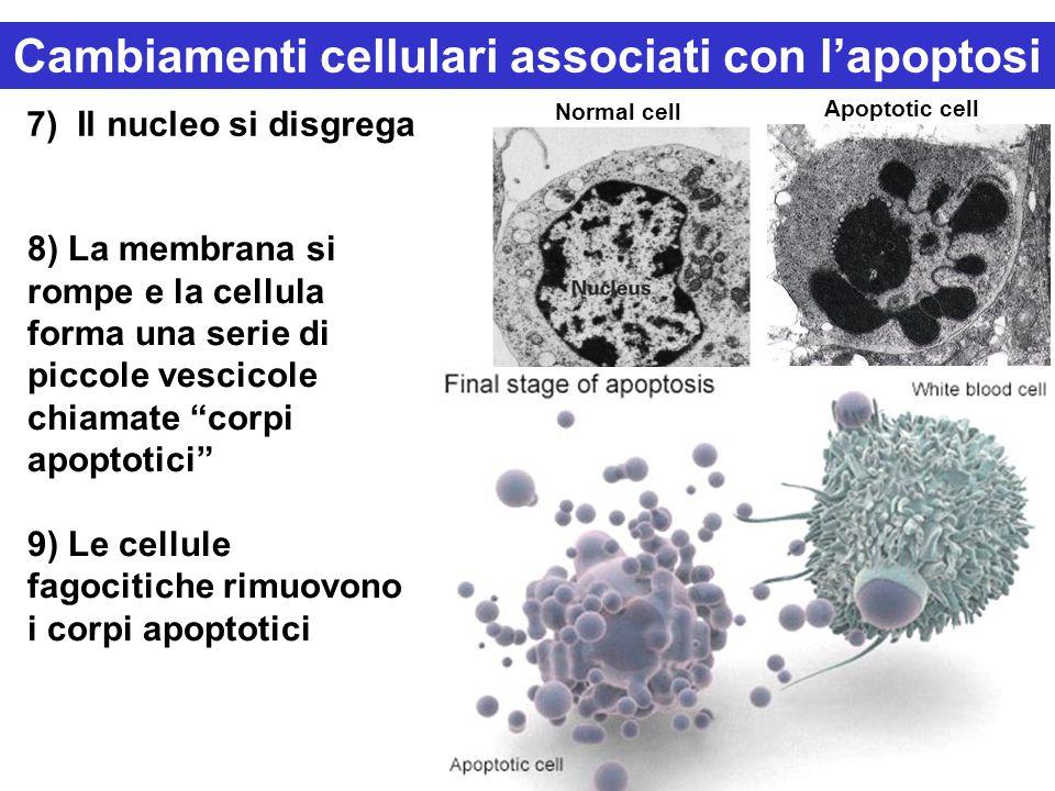 7) Il nucleo si disgrega Normal cell Apoptotic cell 8) La membrana si rompe e la cellula forma una serie di piccole vescicole chiamate corpi apoptotici 9) Le cellule fagocitiche rimuovono i corpi apoptotici Cambiamenti cellulari associati con l'apoptosi