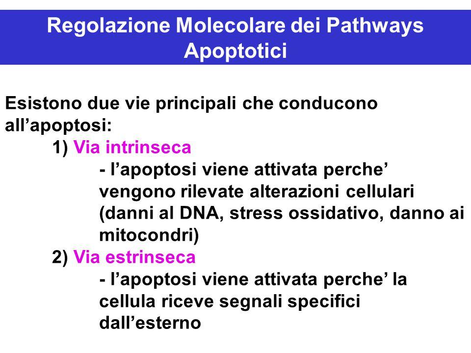 Regolazione Molecolare dei Pathways Apoptotici Esistono due vie principali che conducono all'apoptosi: 1) Via intrinseca - l'apoptosi viene attivata perche' vengono rilevate alterazioni cellulari (danni al DNA, stress ossidativo, danno ai mitocondri) 2) Via estrinseca - l'apoptosi viene attivata perche' la cellula riceve segnali specifici dall'esterno