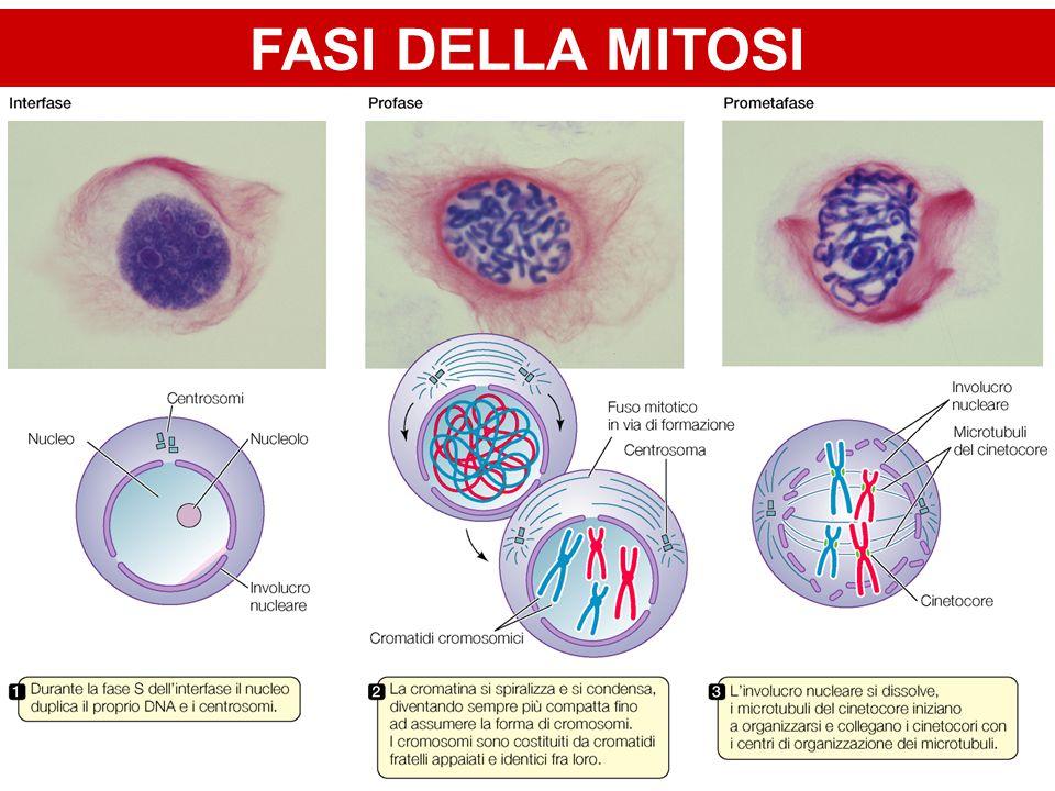 Regolazione Molecolare dei Pathways Apoptotici Via Intrinseca Apoptosome DNA damage Bax Bcl-2