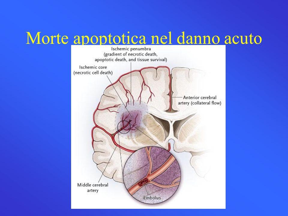 Morte apoptotica nel danno acuto