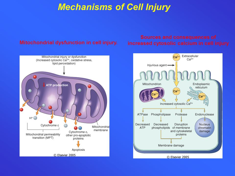 Mechanisms of Cell Injury Sources and consequences of increased cytosolic calcium in cell injury Mitochondrial dysfunction in cell injury.