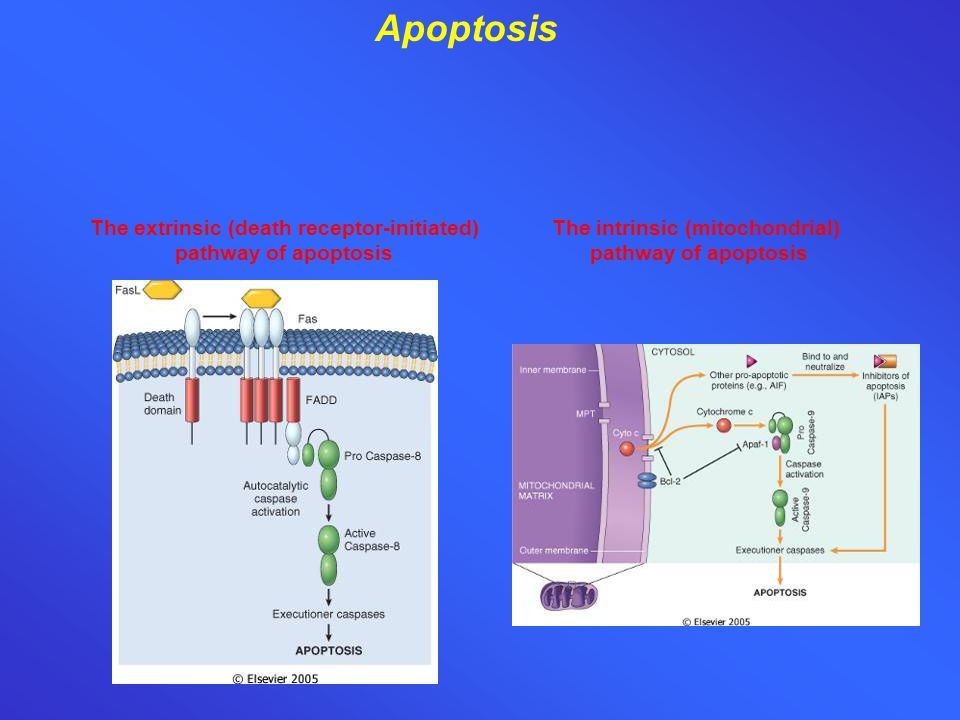 The extrinsic (death receptor-initiated) pathway of apoptosis The intrinsic (mitochondrial) pathway of apoptosis Apoptosis