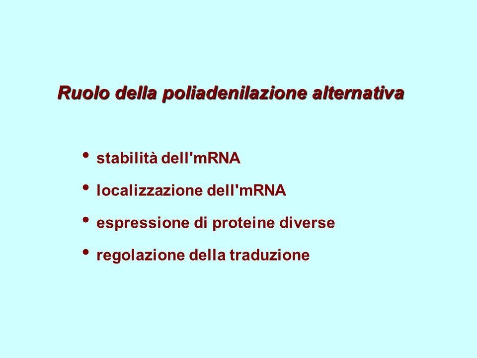 Ruolo della poliadenilazione alternativa stabilità dell mRNA localizzazione dell mRNA espressione di proteine diverse regolazione della traduzione