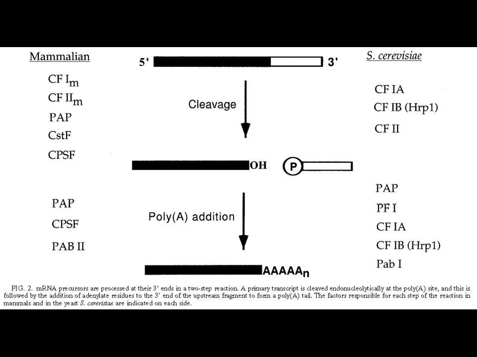 Fabbrica dell'RNA (RNA factory) Interdipendenza tra trascrizione e modificazioni post-trascrizionali Pol II senza CTD inibisce splicing, terminazione e poliadenilazione CPSF e CstF legano il CTD CPSF si trova associato a TFIID