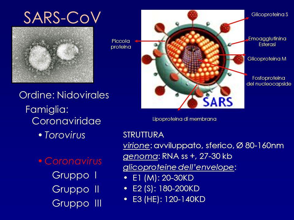 SARS-CoV Ordine: Nidovirales Famiglia: Coronaviridae Torovirus Coronavirus Gruppo I Gruppo II Gruppo III STRUTTURA virione: avviluppato, sferico, Ø 80