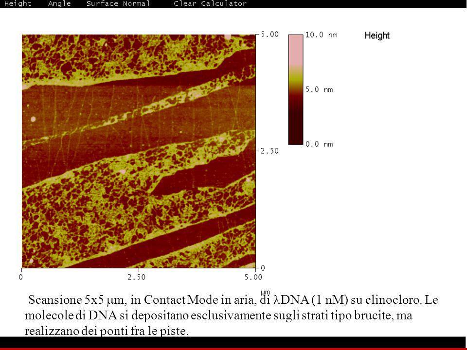 Scansione 5x5  m, in Contact Mode in aria, di DNA (1 nM) su clinocloro. Le molecole di DNA si depositano esclusivamente sugli strati tipo brucite, ma