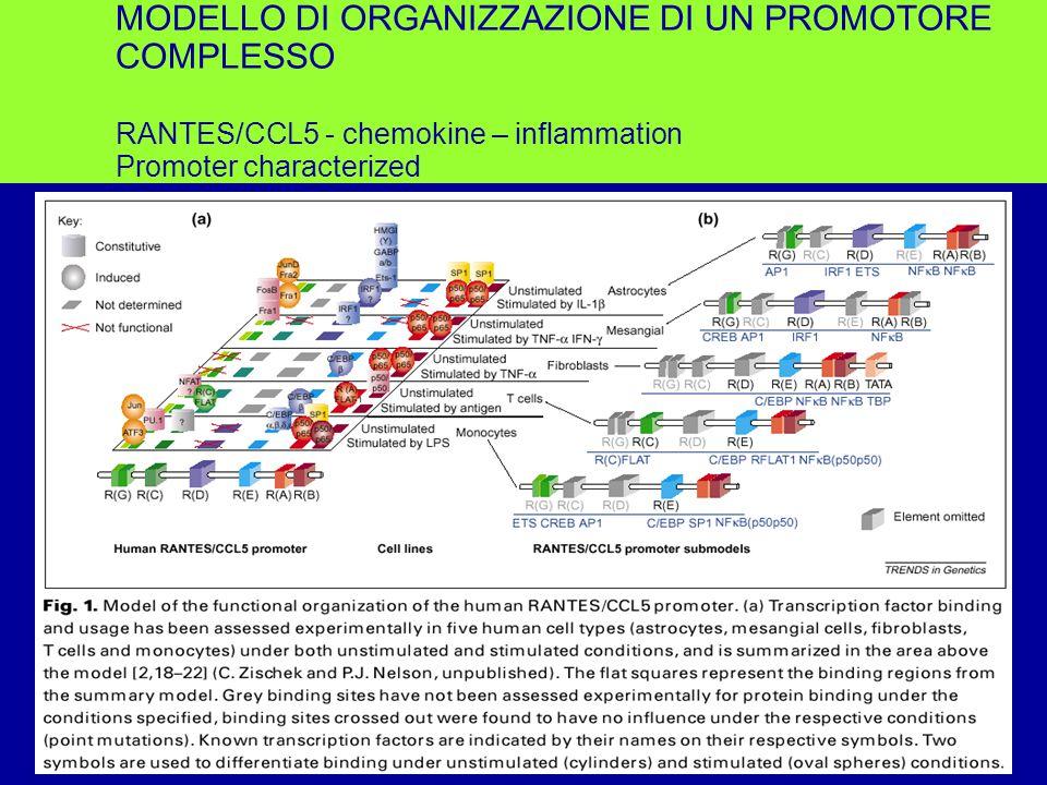 MODELLO DI ORGANIZZAZIONE DI UN PROMOTORE COMPLESSO RANTES/CCL5 - chemokine – inflammation Promoter characterized