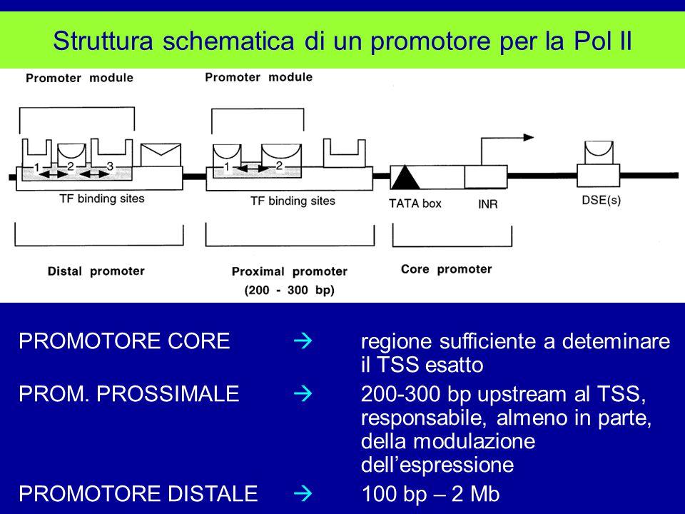 Struttura schematica di un promotore per la Pol II PROMOTORE CORE  regione sufficiente a deteminare il TSS esatto PROM.