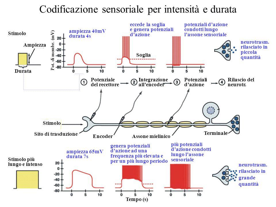Codificazione sensoriale per intensità e durata ampiezza 40mV durata 4s ampiezza 65mV durata 7s neurotrasm. rilasciato in piccola quantità neurotrasm.