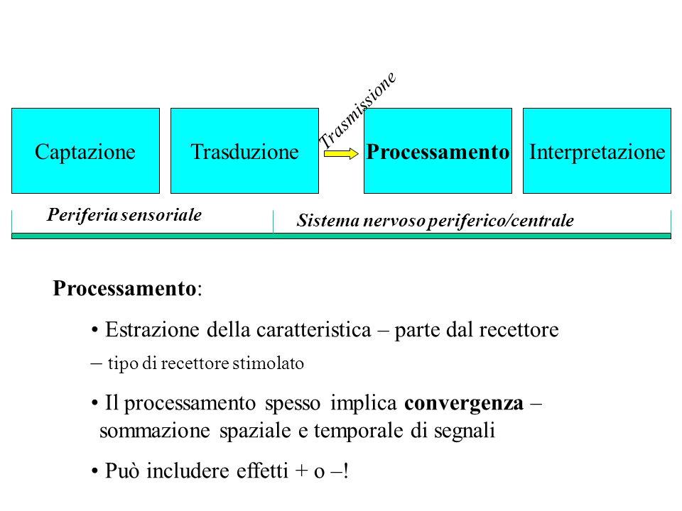 Processamento: Estrazione della caratteristica – parte dal recettore – tipo di recettore stimolato Il processamento spesso implica convergenza – somma