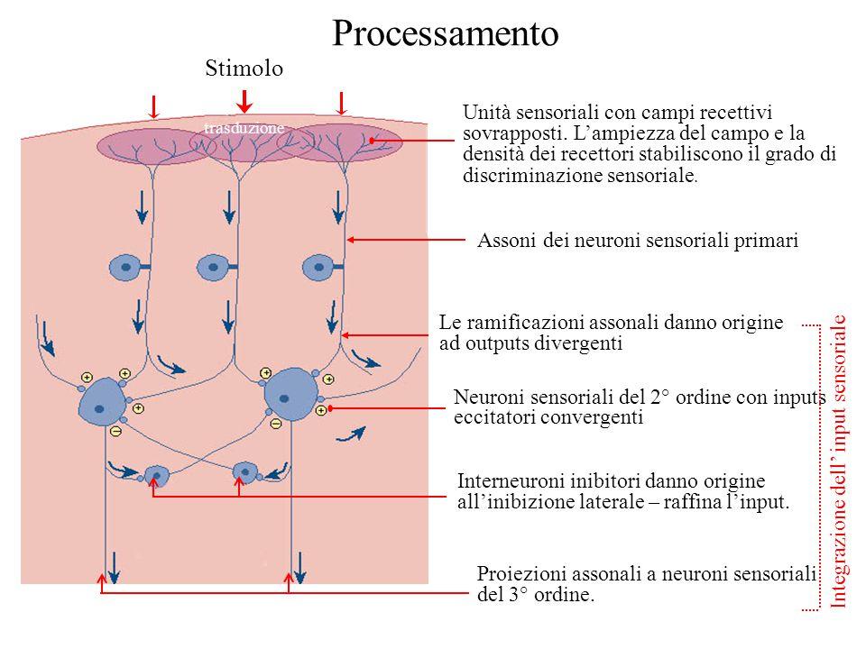 Interneuroni inibitori danno origine all'inibizione laterale – raffina l'input. Proiezioni assonali a neuroni sensoriali del 3° ordine. Neuroni sensor