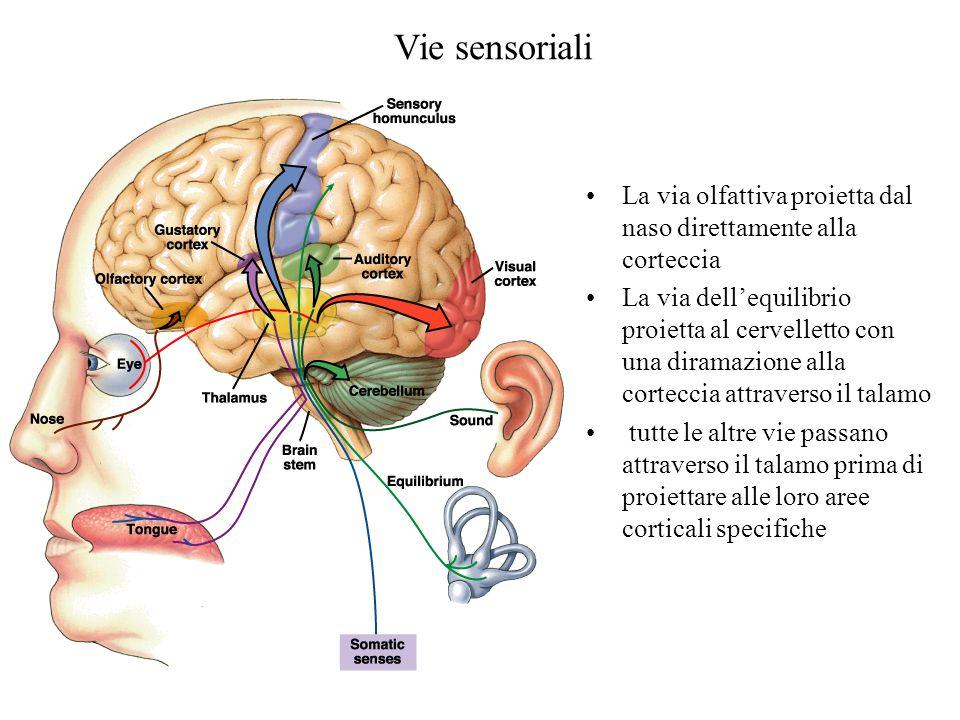 Vie sensoriali La via olfattiva proietta dal naso direttamente alla corteccia La via dell'equilibrio proietta al cervelletto con una diramazione alla