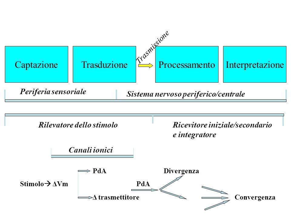 CaptazioneTrasduzioneProcessamentoInterpretazione Periferia sensoriale Sistema nervoso periferico/centrale Trasmissione Rilevatore dello stimoloRicevi