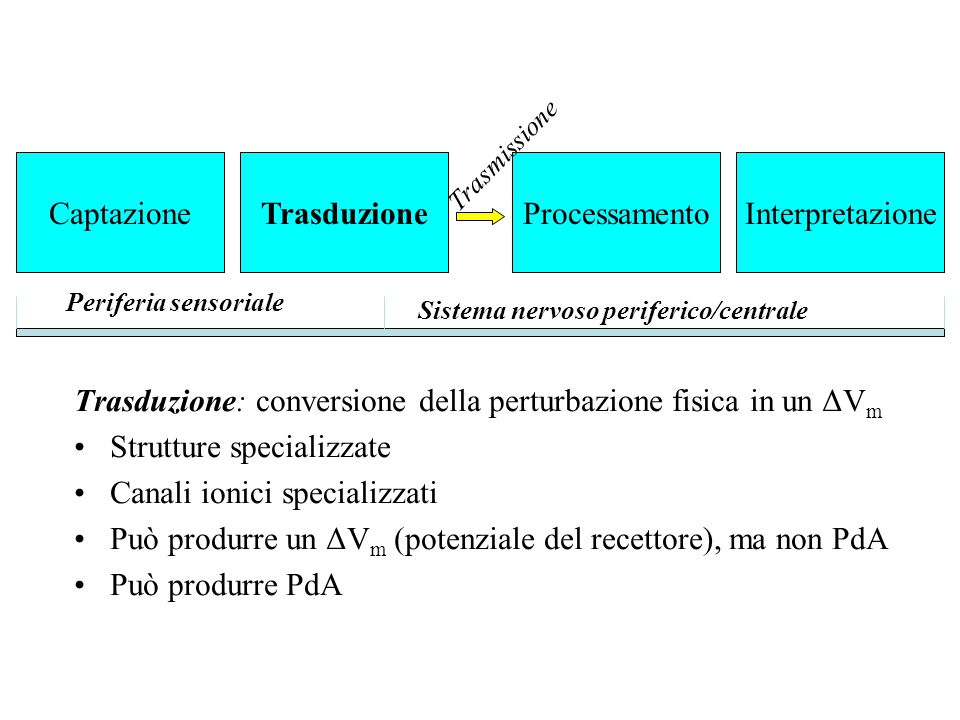 Trasduzione: conversione della perturbazione fisica in un ΔV m Strutture specializzate Canali ionici specializzati Può produrre un ΔV m (potenziale de