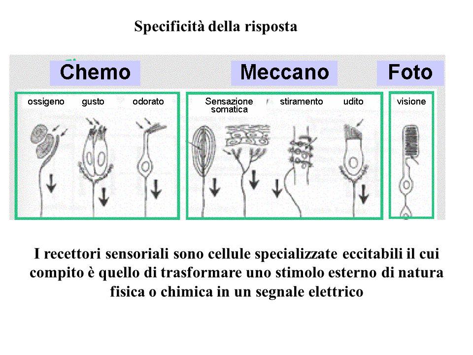 Specificità della risposta I recettori sensoriali sono cellule specializzate eccitabili il cui compito è quello di trasformare uno stimolo esterno di