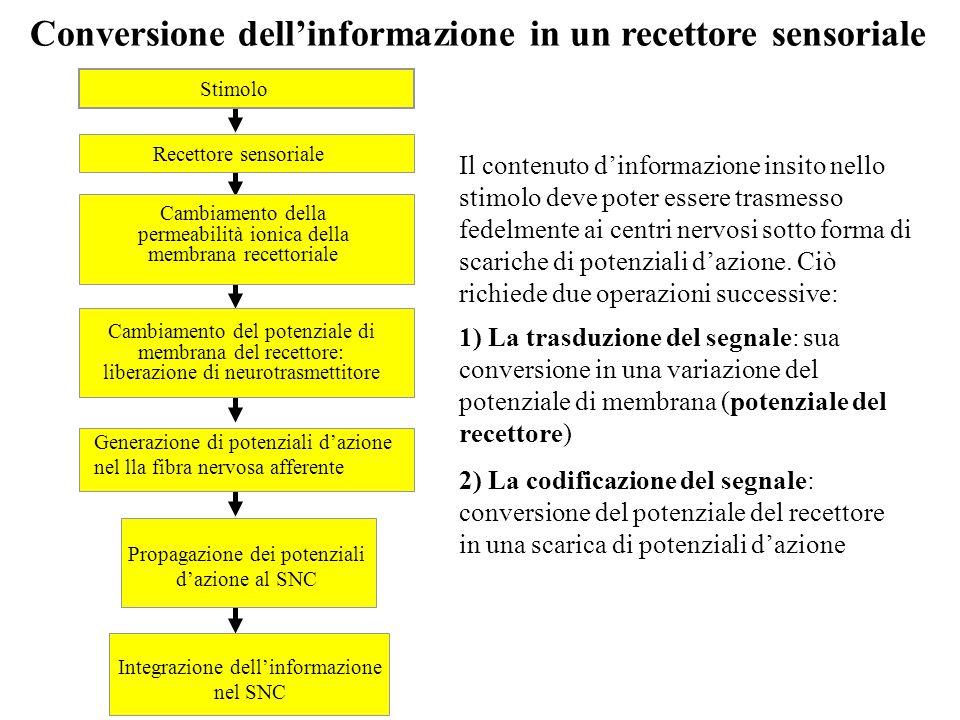 Integrazione dell'informazione nel SNC Propagazione dei potenziali d'azione al SNC Generazione di potenziali d'azione nel lla fibra nervosa afferente