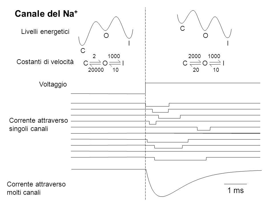1 ms I O C C I O C O I 20000 10 2 1000 C O I 10 1000 20 2000 Canale del Na + Voltaggio Livelli energetici Costanti di velocità Corrente attraverso singoli canali Corrente attraverso molti canali
