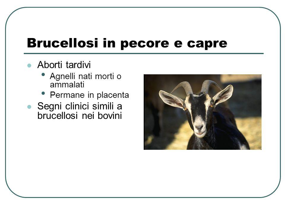 Brucellosi in pecore e capre Aborti tardivi Agnelli nati morti o ammalati Permane in placenta Segni clinici simili a brucellosi nei bovini
