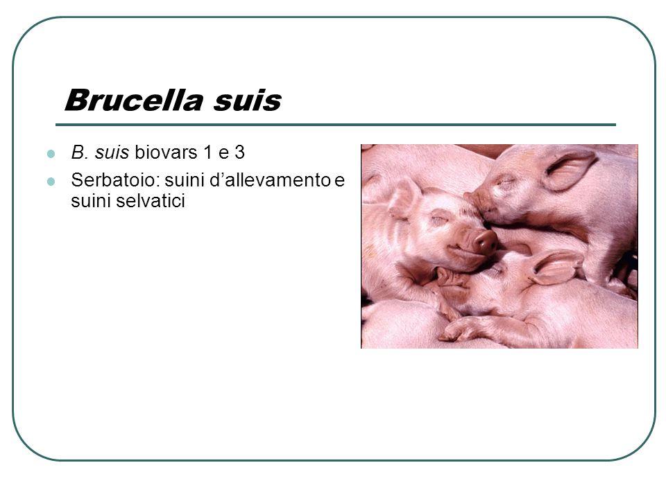 Brucella suis B. suis biovars 1 e 3 Serbatoio: suini d'allevamento e suini selvatici