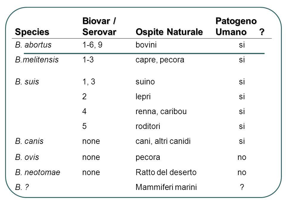 Species Biovar / Serovar Ospite Naturale Patogeno Umano ? B. abortus1-6, 9bovinisi B.melitensis1-3capre, pecorasi B. suis1, 3suinosi 2leprisi 4renna,