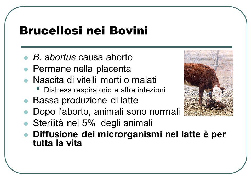 Brucellosi nei Bovini B. abortus causa aborto Permane nella placenta Nascita di vitelli morti o malati Distress respiratorio e altre infezioni Bassa p