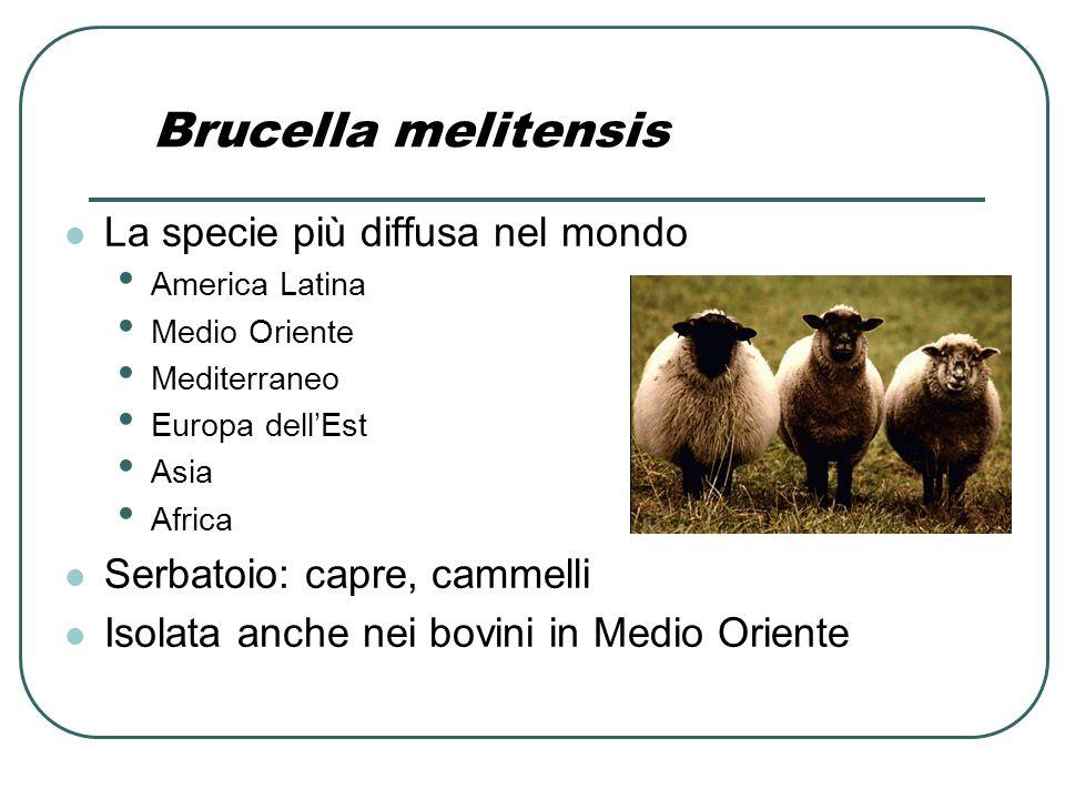Brucella melitensis La specie più diffusa nel mondo America Latina Medio Oriente Mediterraneo Europa dell'Est Asia Africa Serbatoio: capre, cammelli I