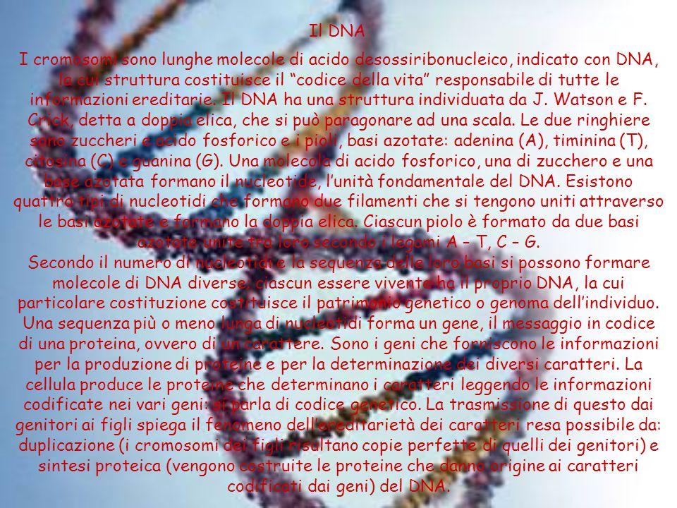 Il DNA I cromosomi sono lunghe molecole di acido desossiribonucleico, indicato con DNA, la cui struttura costituisce il codice della vita responsabile di tutte le informazioni ereditarie.