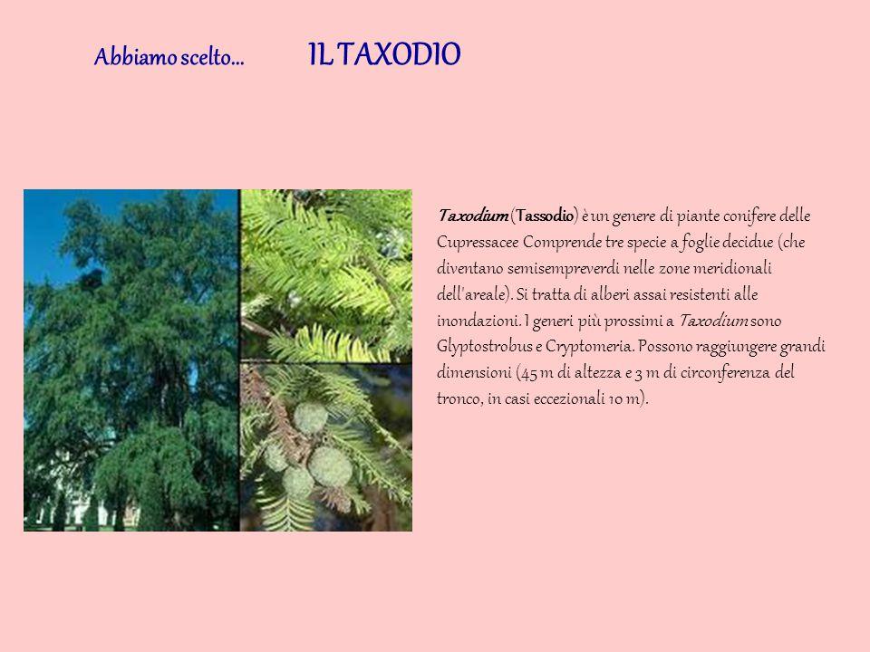 Abbiamo scelto... IL TAXODIO Taxodium (Tassodio) è un genere di piante conifere delle Cupressacee Comprende tre specie a foglie decidue (che diventano
