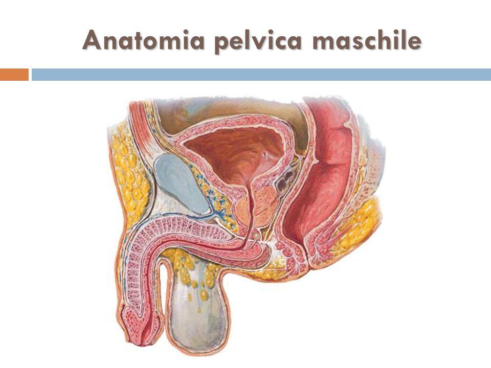 Anatomia pelvica maschile