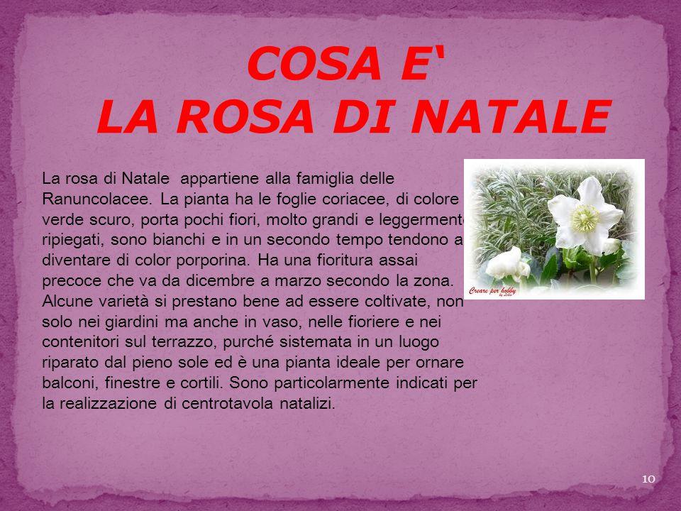 COSA E' LA ROSA DI NATALE La rosa di Natale appartiene alla famiglia delle Ranuncolacee.