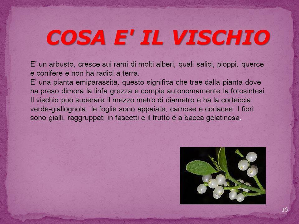 16 COSA E IL VISCHIO E un arbusto, cresce sui rami di molti alberi, quali salici, pioppi, querce e conifere e non ha radici a terra.