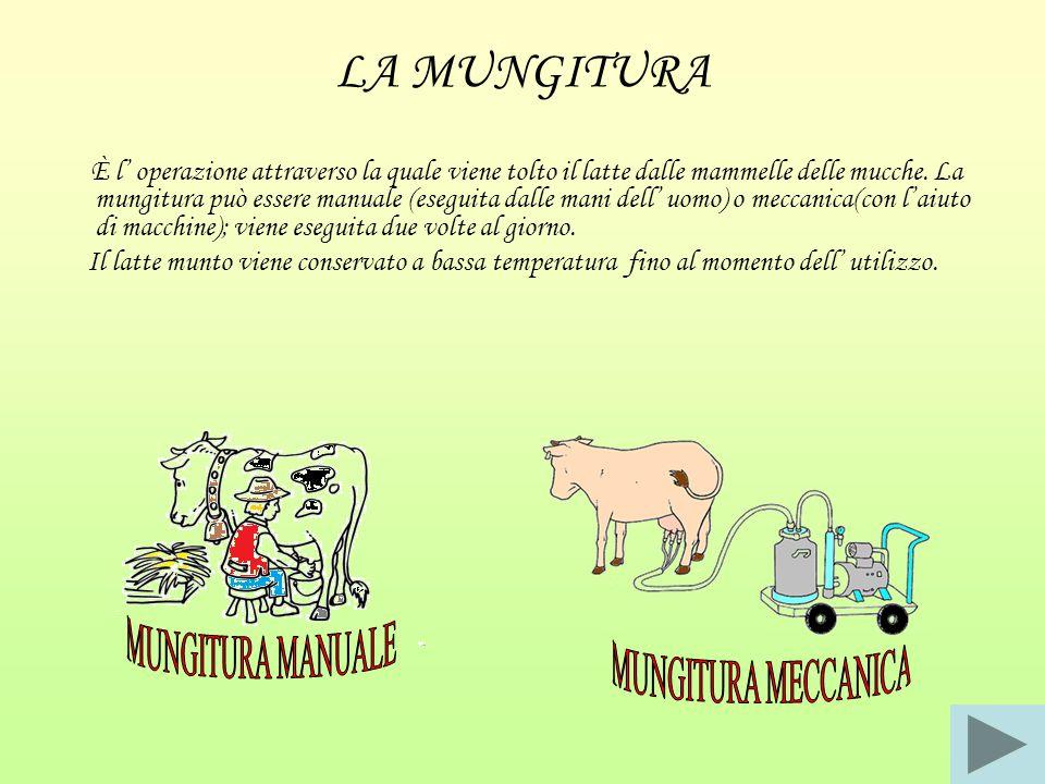LA MUNGITURA È l' operazione attraverso la quale viene tolto il latte dalle mammelle delle mucche. La mungitura può essere manuale (eseguita dalle man