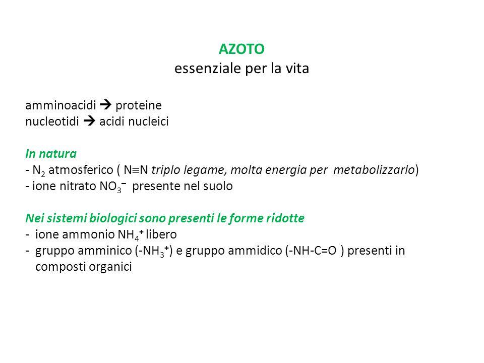 AZOTO essenziale per la vita amminoacidi  proteine nucleotidi  acidi nucleici In natura - N 2 atmosferico ( N  N triplo legame, molta energia per m