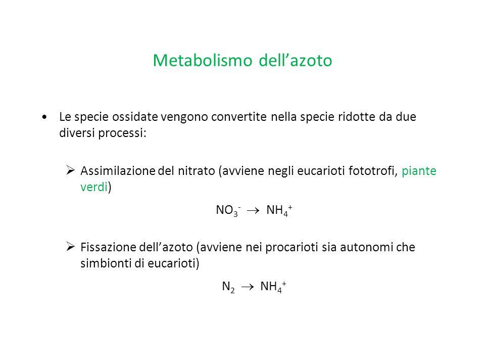 Metabolismo dell'azoto Le specie ossidate vengono convertite nella specie ridotte da due diversi processi:  Assimilazione del nitrato (avviene negli
