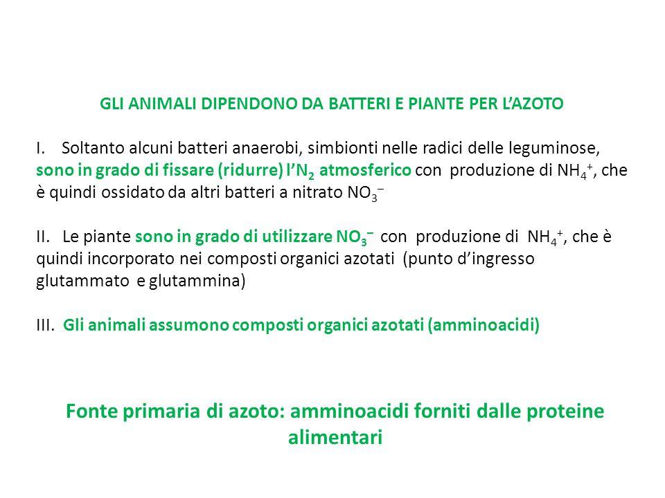 GLI ANIMALI DIPENDONO DA BATTERI E PIANTE PER L'AZOTO I. Soltanto alcuni batteri anaerobi, simbionti nelle radici delle leguminose, sono in grado di f