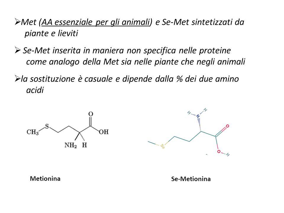  Met (AA essenziale per gli animali) e Se-Met sintetizzati da piante e lieviti  Se-Met inserita in maniera non specifica nelle proteine come analogo