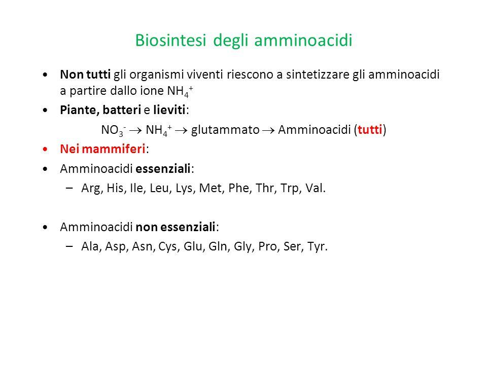 Biosintesi degli amminoacidi Non tutti gli organismi viventi riescono a sintetizzare gli amminoacidi a partire dallo ione NH 4 + Piante, batteri e lie