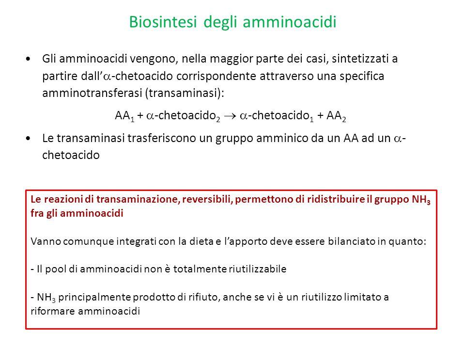 Biosintesi degli amminoacidi Gli amminoacidi vengono, nella maggior parte dei casi, sintetizzati a partire dall'  -chetoacido corrispondente attraver