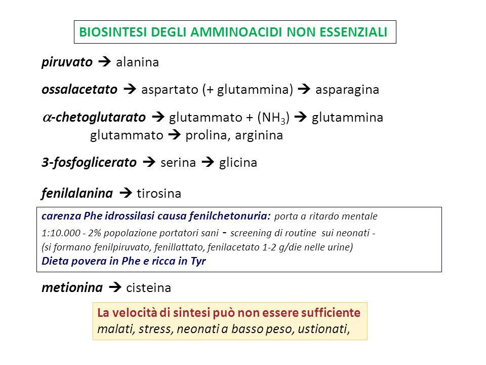 BIOSINTESI DEGLI AMMINOACIDI NON ESSENZIALI piruvato  alanina ossalacetato  aspartato (+ glutammina)  asparagina  -chetoglutarato  glutammato + (