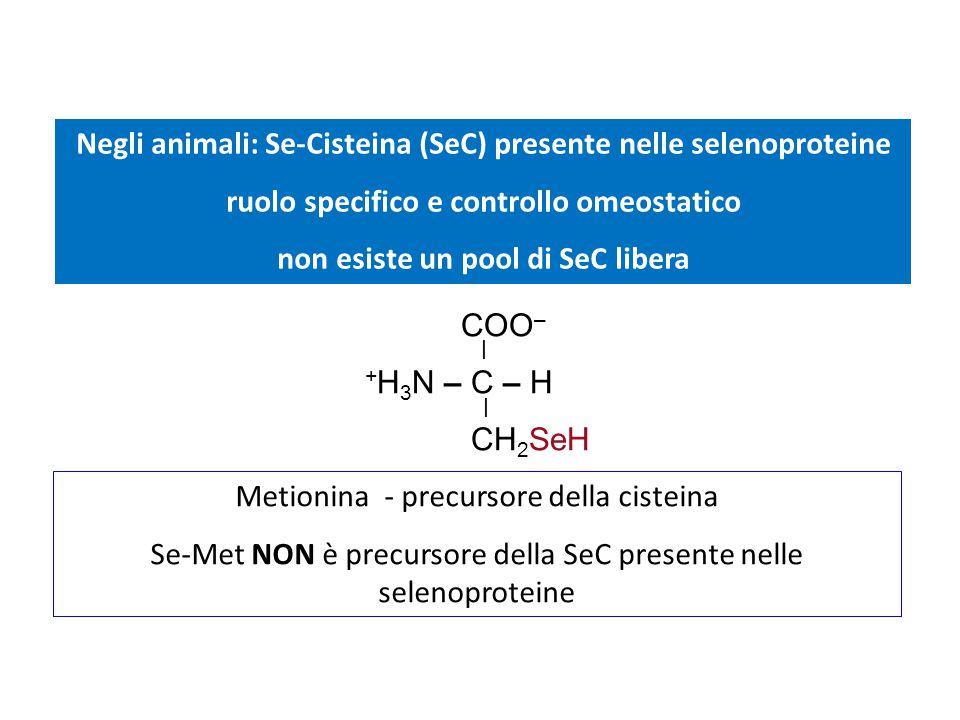 Negli animali: Se-Cisteina (SeC) presente nelle selenoproteine ruolo specifico e controllo omeostatico non esiste un pool di SeC libera Metionina - pr