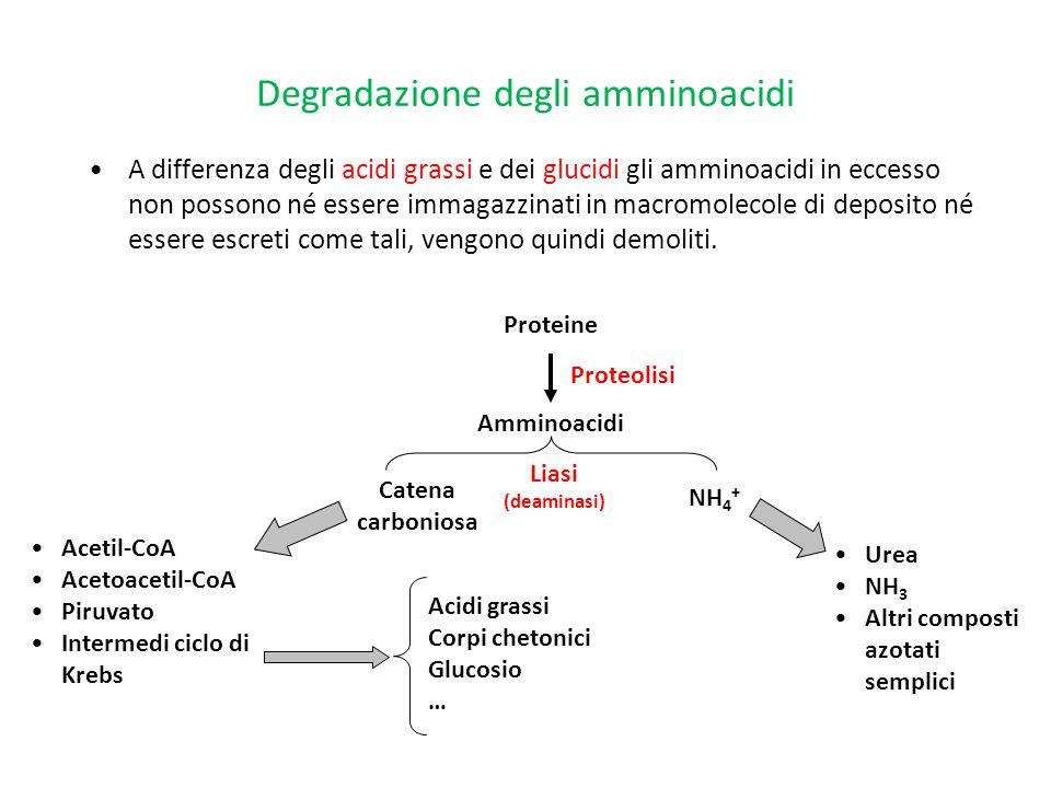 Degradazione degli amminoacidi A differenza degli acidi grassi e dei glucidi gli amminoacidi in eccesso non possono né essere immagazzinati in macromo