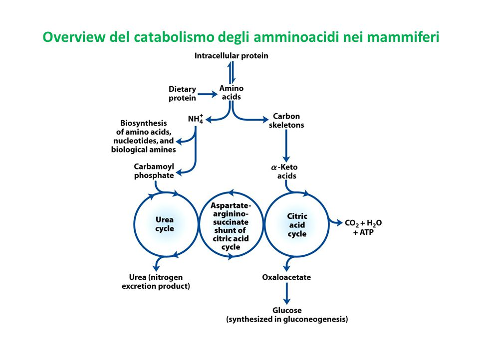 Overview del catabolismo degli amminoacidi nei mammiferi