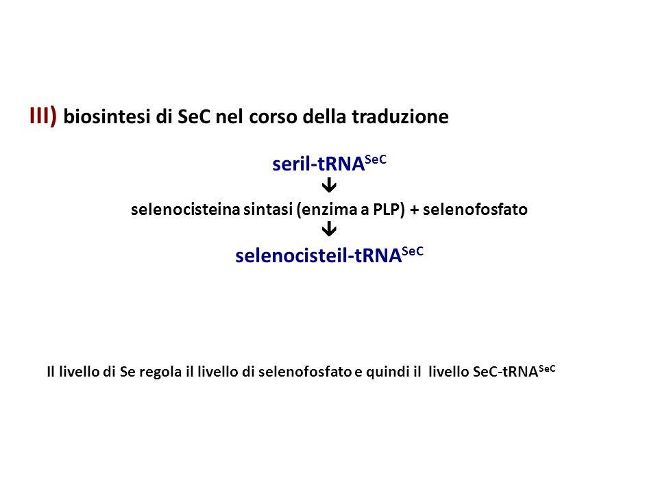 III) biosintesi di SeC nel corso della traduzione seril-tRNA SeC  selenocisteina sintasi (enzima a PLP) + selenofosfato  selenocisteil-tRNA SeC Il l